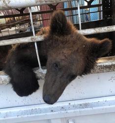 Ветеринар проверил состояние медведя у придорожного кафе