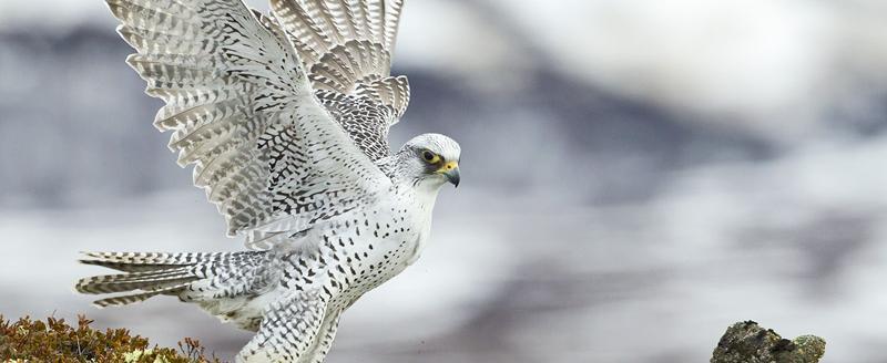Шесть видов животных в РФ находится на грани исчезновения. В том числе, кречет, обитающий на Вологодчине