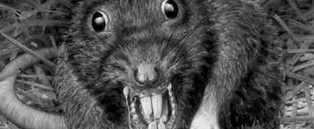 Посланники Сатаны: крысы готовятся к решающей схватке с людьми!
