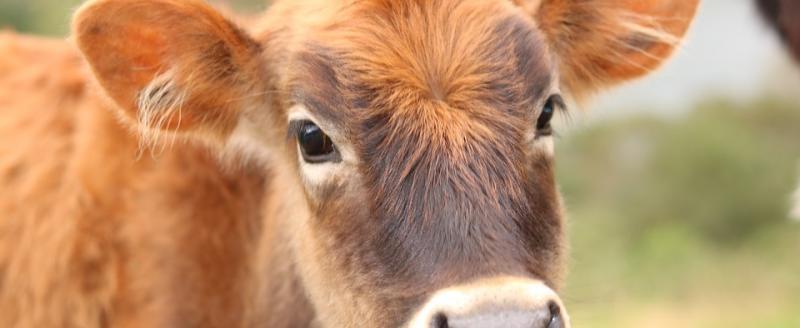 Пьяный мужчина в Вологде украл теленка у инвалида