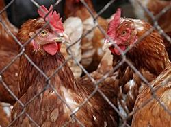 Группа птицефабрик вложит 87 млн в переработку биоотходов