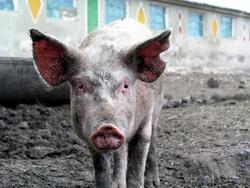 В области зарегистрирован случай африканской чумы свиней