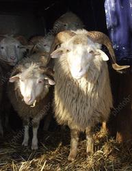 Судебному приставу вынесли приговор за взятки баранами