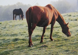 Женщина лишилась денег при продаже лошади в интернете